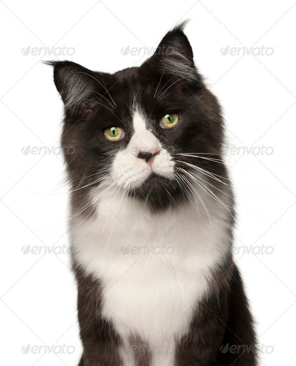 Maine Coon cat, 15 months old, in front of white background - Stock Photo - Images