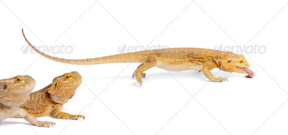 Central Bearded Dragon, Pogona vitticeps, eating a cricket in front of white background - Stock Photo - Images