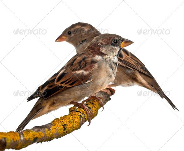 Male and Female House Sparrows, Passer domesticus, 4 months old, in front of white background - Stock Photo - Images