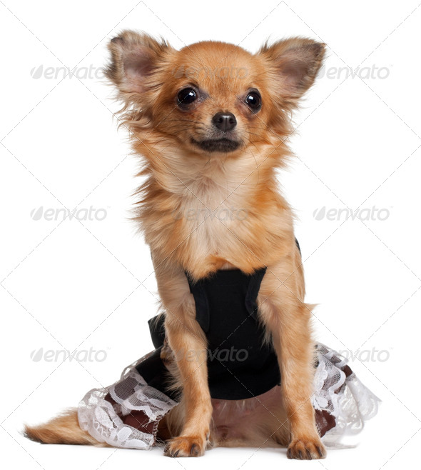 Chihuahua puppy wearing dress, 6 months old, sitting in front of white background - Stock Photo - Images