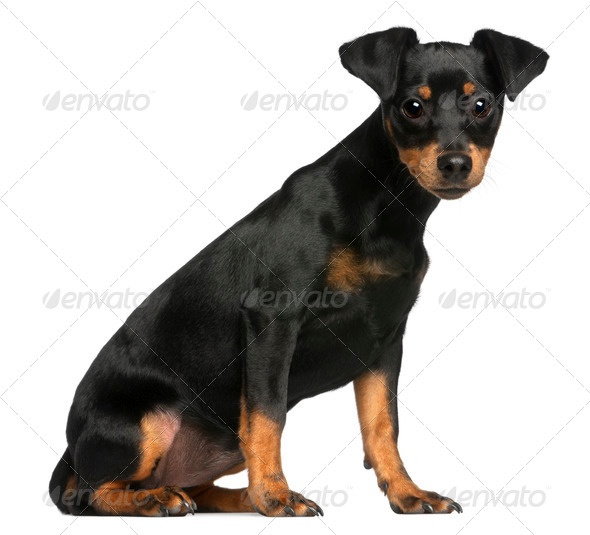 Miniature Pinscher puppy, 5 months old, sitting in front of white background - Stock Photo - Images