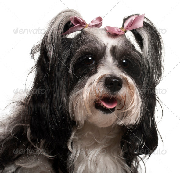 Close-up of Havanese, 3 years old, in front of white background - Stock Photo - Images