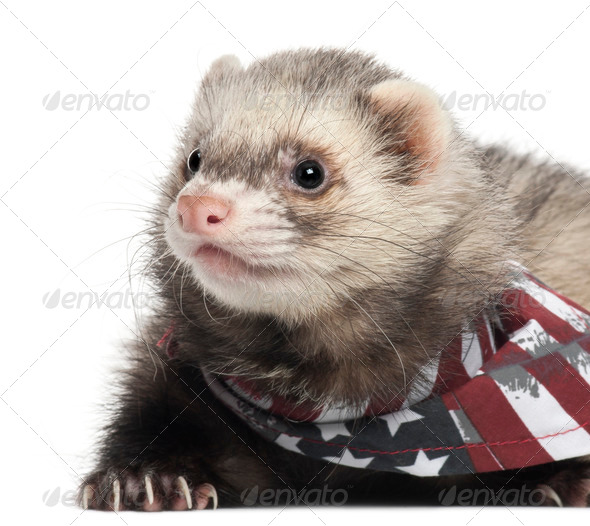 Ferret wearing American flag scarf in front of white background - Stock Photo - Images
