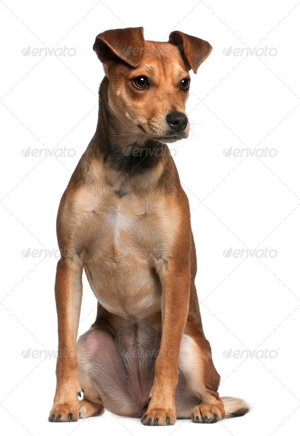 Mixed-breed dog, 7 months old, standing in front of white background - Stock Photo - Images