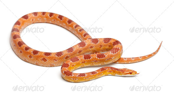 Okeetee albinos Corn Snake, Red Rat Snake,  Pantherophis guttatus, in front of white background - Stock Photo - Images