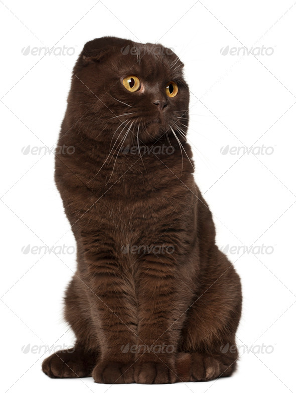 Scottish Fold cat, 18 months old, sitting in front of white background - Stock Photo - Images