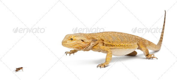 Central Bearded Dragon, Pogona vitticeps, chasing a cricket in front of white background - Stock Photo - Images