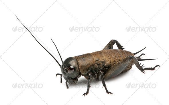 Mediterranean field cricket - Gryllus bimaculatus - Stock Photo - Images