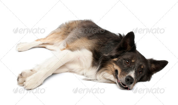 Border collie lying in front of white background - Stock Photo - Images