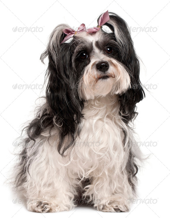 Havanese, 3 years old, sitting in front of white background - Stock Photo - Images