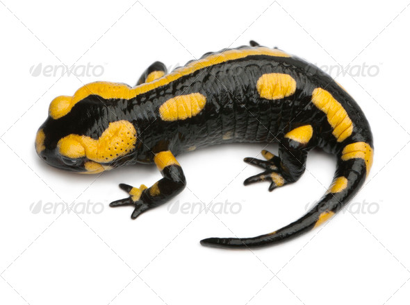 Fire salamander, Salamandra salamandra, in front of white background - Stock Photo - Images