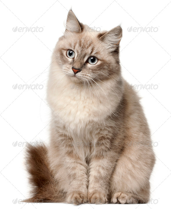 Siberian cat, sitting in front of white background - Stock Photo - Images