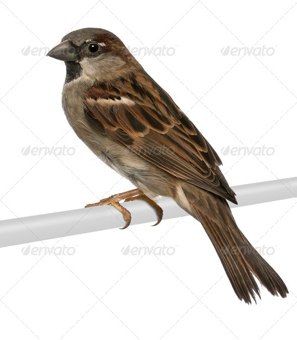 male House Sparrow - Passer domesticus (5 months old) - Stock Photo - Images