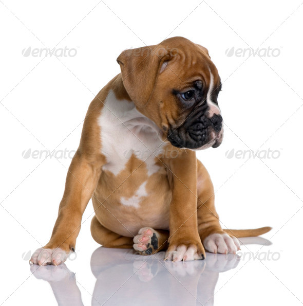 Puppy Boxer, 2 months old, sitting in front of white background, studio shot - Stock Photo - Images