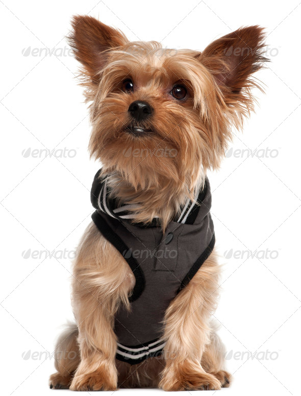 Yorkshire Terrier wearing vest and sitting in front of white background - Stock Photo - Images