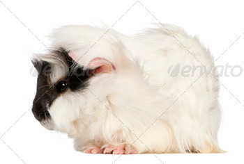 Abyssinian Guinea pig, Cavia porcellus, sitting in front of white background