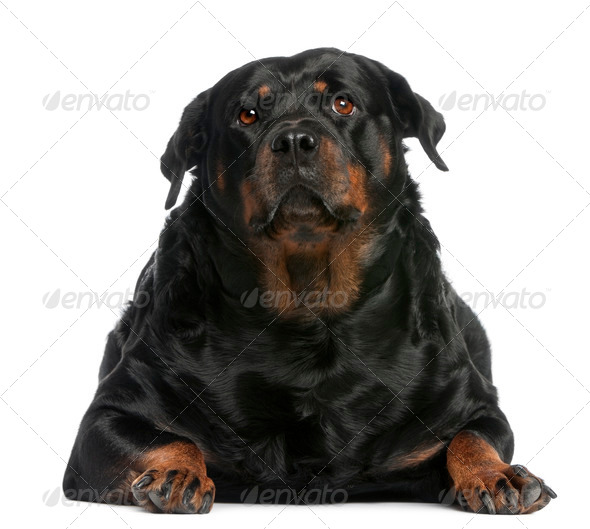 Fat Rottweiler, 3 years old, lying in front of white background - Stock Photo - Images