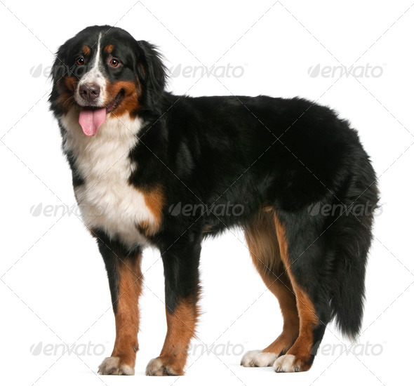 Bernese Mountain Dog, 12 months old, standing and panting in front of white background - Stock Photo - Images