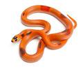 Tricolor Patternless Honduran milk snake, Lampropeltis triangulum hondurensis