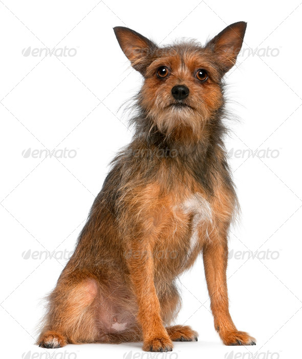 Mixed-breed dog, 15 months old, sitting in front of white background - Stock Photo - Images