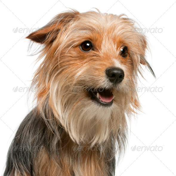 Close-up of Mixed-breed dog, 12 months old, in front of white background - Stock Photo - Images
