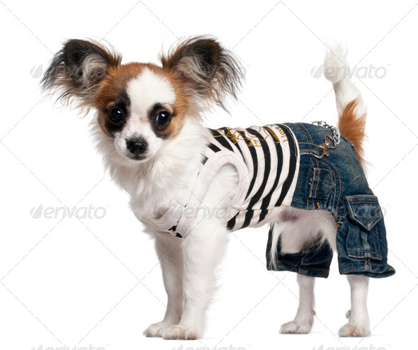 Chihuahua puppy wearing outfit, 6 months old, standing in front of white background - Stock Photo - Images