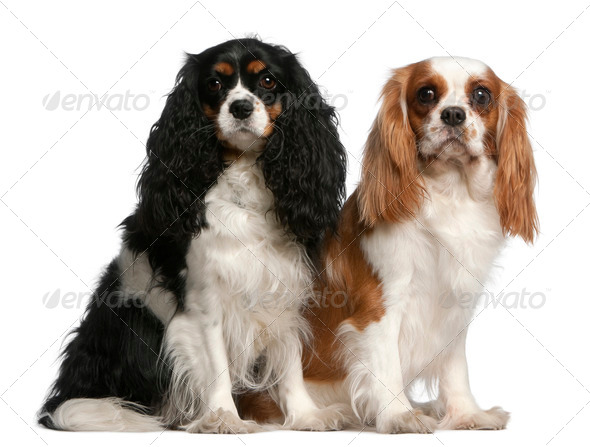 Cavalier King Charles Spaniels, 2 and 3 years old, sitting in front of white background - Stock Photo - Images
