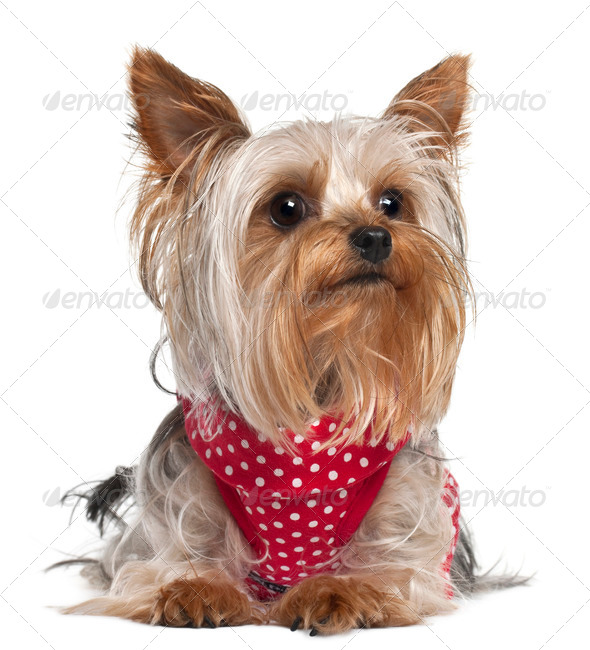 Yorkshire Terrier wearing red and white polka dots, 1 year old, lying in front of white background - Stock Photo - Images