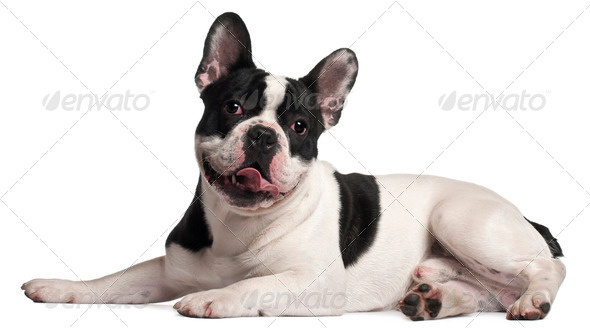 French Bulldog, 8 months old, lying in front of white background - Stock Photo - Images