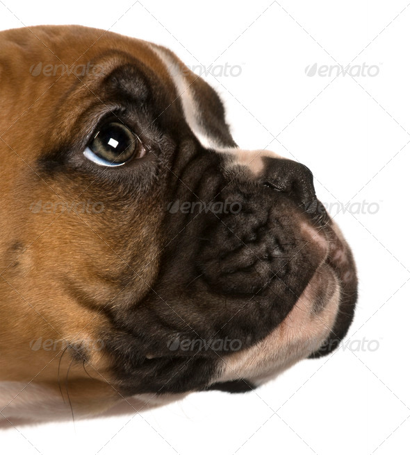 Puppy Boxer, 2 months old, looking up in front of white background - Stock Photo - Images