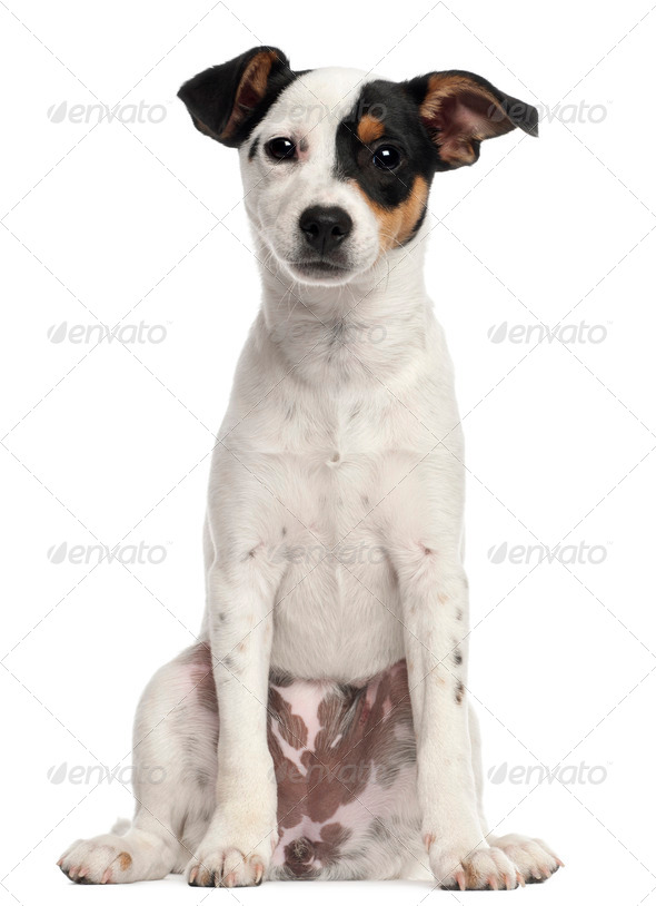 Jack Russell Terrier puppy, 5 months old, sitting in front of white background - Stock Photo - Images
