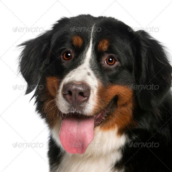 Close-up of Bernese Mountain Dog, 12 months old, panting in front of white background - Stock Photo - Images