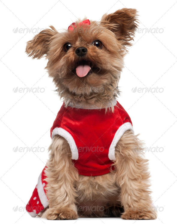Yorkshire Terrier wearing red, 4 and a half years old, sitting in front of white background - Stock Photo - Images