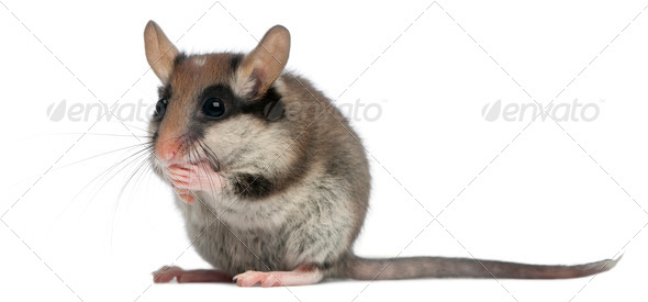 Garden Dormouse, Eliomys quercinus, 2 months old, standing in front of white background - Stock Photo - Images