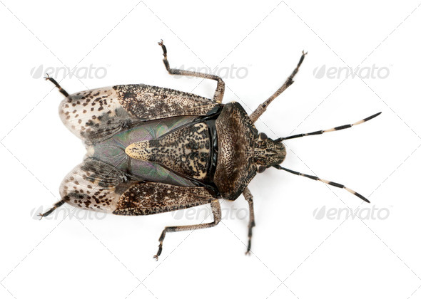 European stink bug, Rhaphigaster nebulosa, in front of white background - Stock Photo - Images