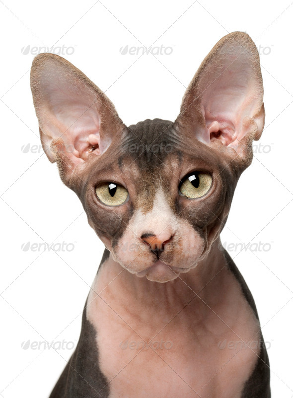 Sphynx cat, 7 months old, in front of white background - Stock Photo - Images