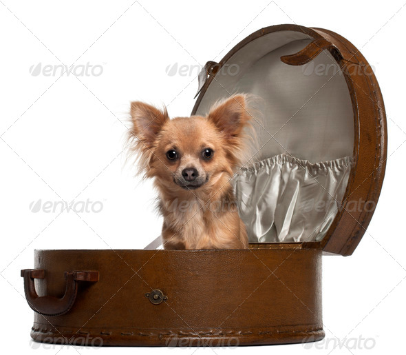 Chihuahua, 10 months old, sitting in round luggage in front of white background - Stock Photo - Images