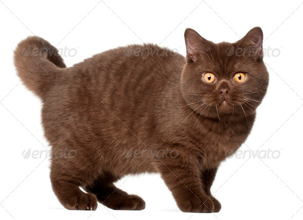 British shorthair cat, kitten, 4 months old, standing in front of white background - Stock Photo - Images