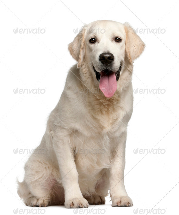 Golden Retriever, 7 months old, panting in front of white background - Stock Photo - Images