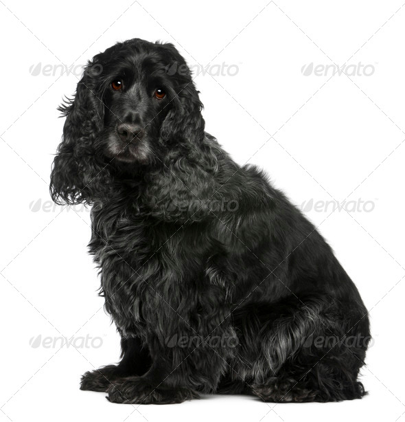 English Cocker Spaniel, 17 months old, sitting in front of white background - Stock Photo - Images