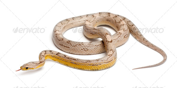 Ghost mothley Corn Snake or Red Rat Snake, Pantherophis guttatus, in front of white background - Stock Photo - Images