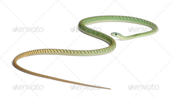 Western green mamba  - Dendroaspis viridis, poisonous, white background - Stock Photo - Images