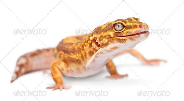 Albino Orange Leopard gecko, Eublepharis macularius, in front of white background - Stock Photo - Images