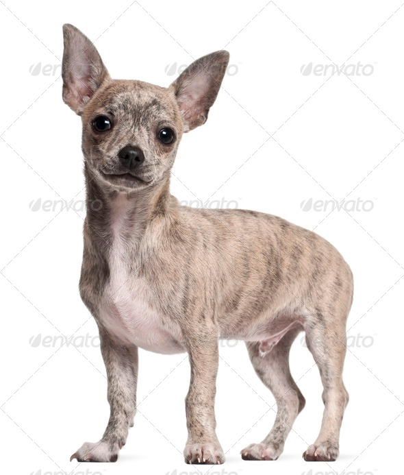 Chihuahua puppy, 3 months old, standing in front of white background - Stock Photo - Images