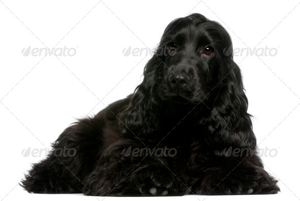 English Cocker Spaniel puppy, 5 months old, lying in front of white background - Stock Photo - Images