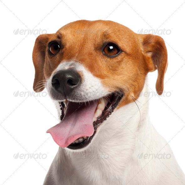 Jack Russell Terrier, 4 years old, close up in front of white background - Stock Photo - Images