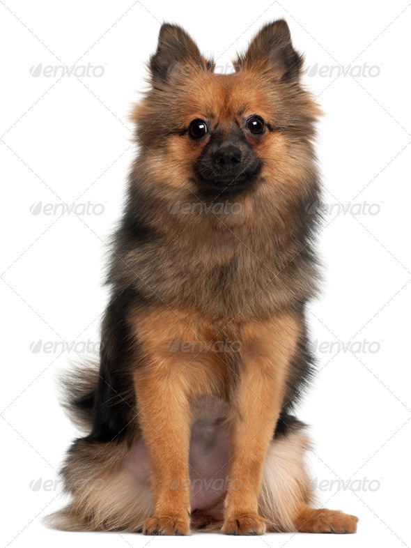 Small fluffy dog sitting in front of white background - Stock Photo - Images