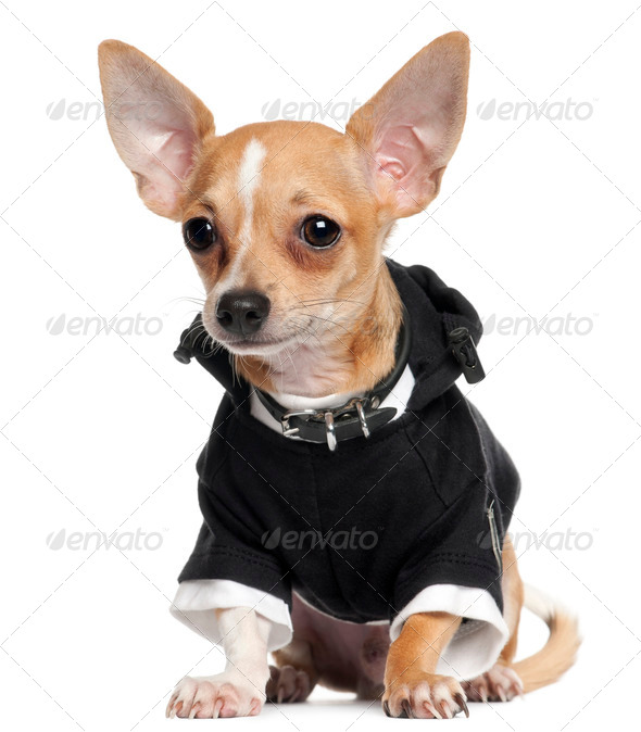Chihuahua Puppy wearing black hoodie, 5 months old, sitting in front of white background - Stock Photo - Images