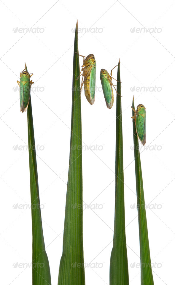 Green Leafhoppers on a grass blade - Cicadella viridis - Stock Photo - Images