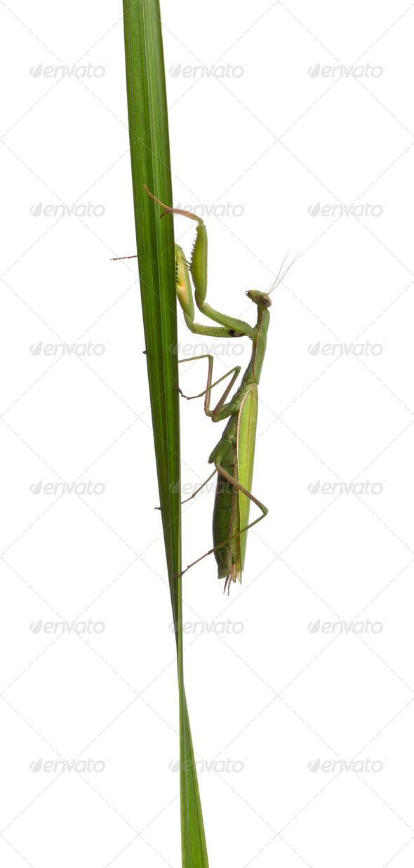 Female European Mantis or Praying Mantis, Mantis religiosa, in front of white background - Stock Photo - Images
